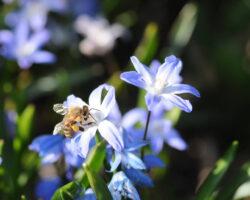 Honigbiene Und Rostrote Mauerbiene